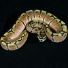 Spider Het Albino M0214, $100, hold for Mason H.