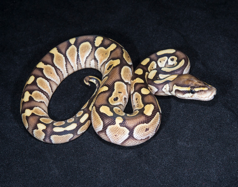 048ML, male Lesser, sold Cold blooded expo OKC