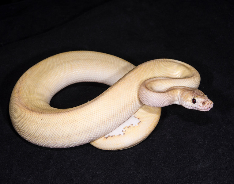 Butter Champagne M0115, sold Cold blooded expo OKC