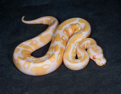 #2068, Male Albino 100% Het Pied, $250