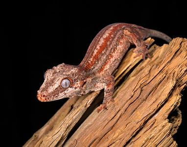 Gargoyle Gecko male #1