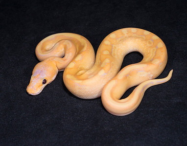 #1745, Male Banana Champagne, $200