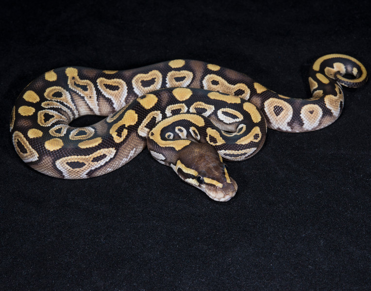 051FM, female Mojave, $75, hold for Kristen A. for pickup at NARBC