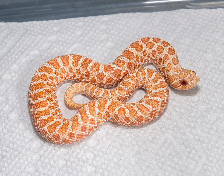 HG18_Albino female, $125 (hold for Mike Kline)