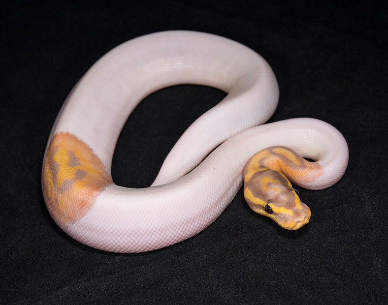 1754, male Banana Pied, $800