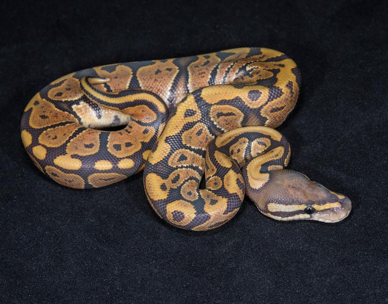 044MG, male Ghost,  sold Rusty F.