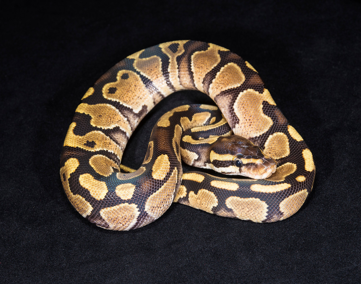 120FSPK, Female Spark/Yellow Belly, $50, hold for Darlene S.,