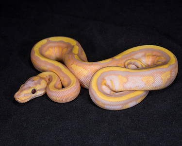 1880_M Banana Super Stripe possible Fire, $400