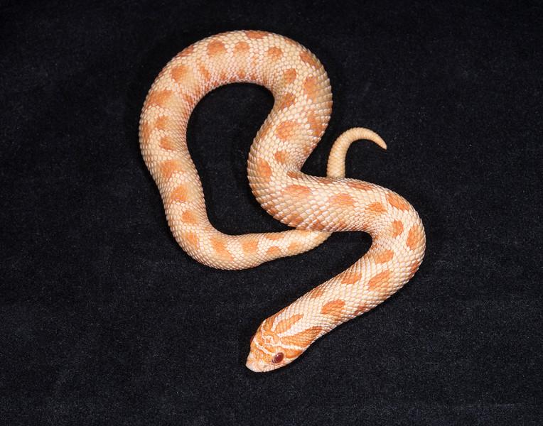 Albino Anaconda male, M1215, $250