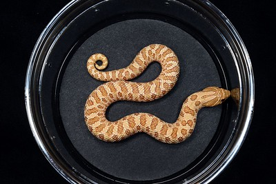 #H2024, Male Evans Hypo Hognose, $225