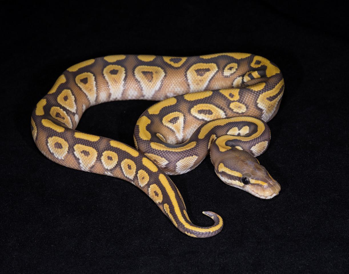 122MMG, male Mojave Ghost, $150