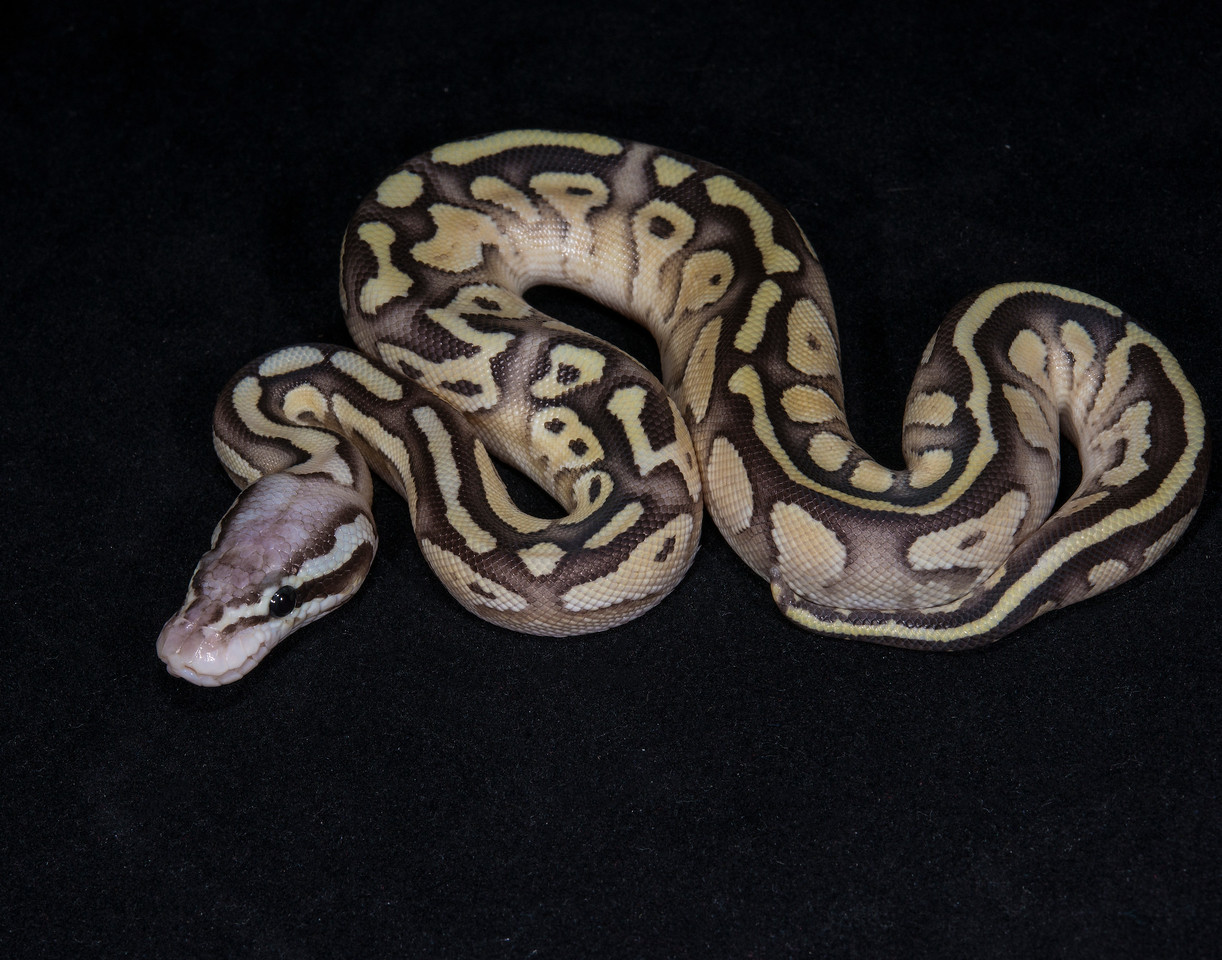 031MBP, male Butter Pastel, sold Cold blooded expo OKC