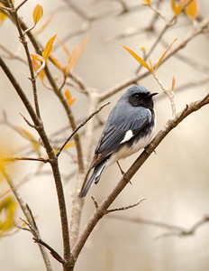 Black-throated Blue Warbler