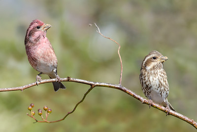 Purple Finches