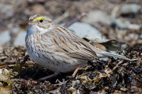 Ipswich Savannah Sparrow