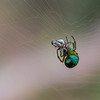 A green spider on his web catching prey
