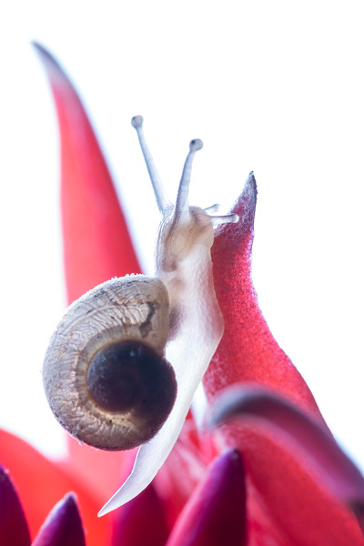 Snail on Red Flower