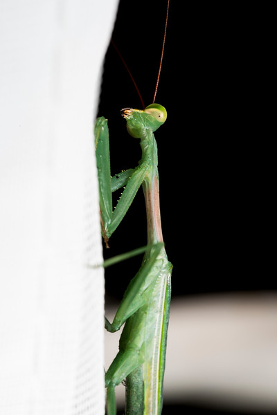 Mantis on White Curtains