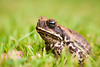 Cane toad sitting in grass