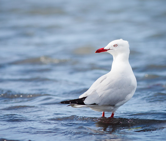 SIlver gull standing in water