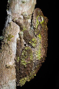 Green eyed tree frog (Litoria genimaculata) on a tree