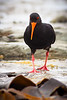 Variable oyster catcher