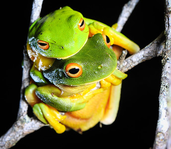 Orange-thighed tree-frogs mating