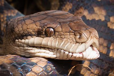 Close-up of python snake