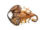 Large australian scorpion