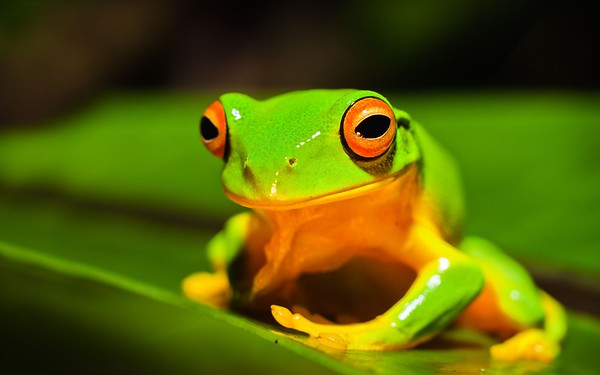 Orange thighed tree frog (Litoria xanthomera)