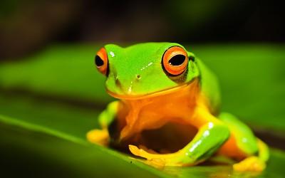 Orange thighed tree frog (Litoria xanthomera)