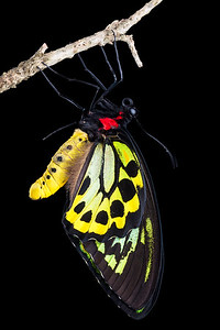 Male Cairns birdwing butterfly