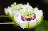 Beautiful passion fruit flowers