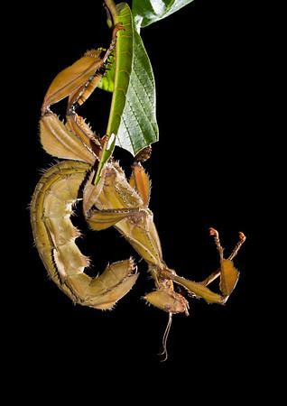 Spiny leaf insect (Extatosoma tiaratum)