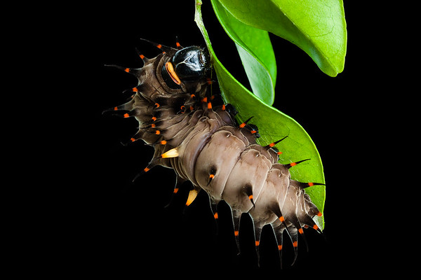 Cairns birdwing butterfly caterpillar