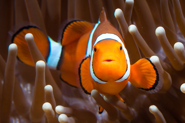 CLown-fish