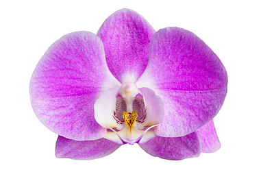 Moth Orchid -Phalaenopsis