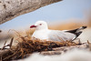 A red-billed gull (Chroicocephalus scopulinus) roosting in her nest.