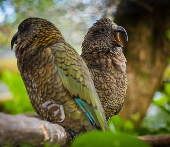Two Kea