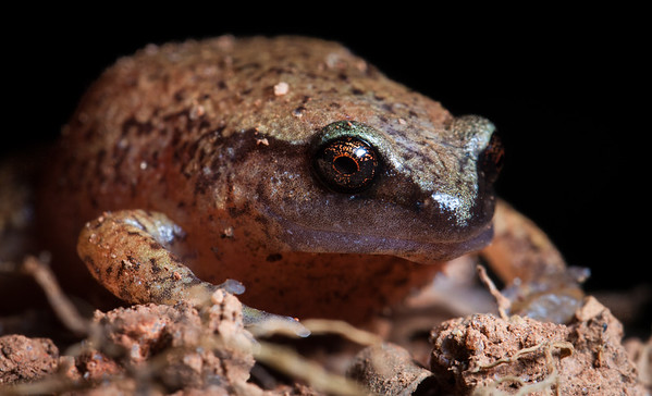 Microhylid frog