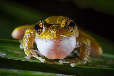 Male common mist-frog