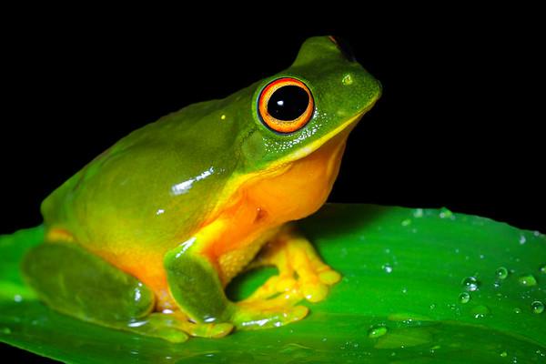 Orange-thighed tree-frog