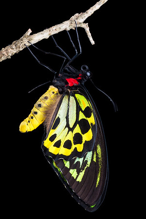 Male Cairns birdwing butterfly