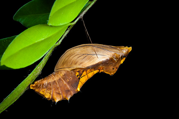 Cairns birdwing butterfly chrysalis