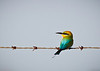 Rainbow bee-eater perched on wire