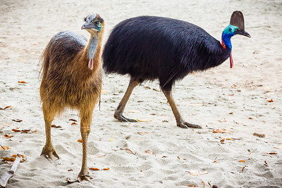 Male Cassowary and chick