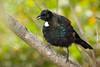 The New Zealand Tui