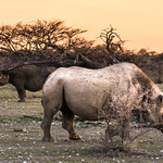 Two of Etosha's black rhinos pause between bouts in a contest for territory.