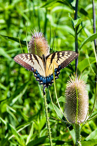 Tiger Swallowtail butterfly at Sugarcreek