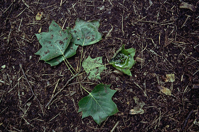 Wet leaves  Fujica STX-1 with Kodak Portra